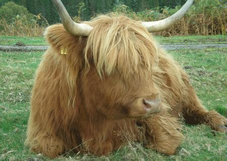 le post qui detend ... - Page 4 Vache%20highland1