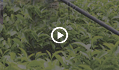 sector - Plantation Sector Video-thumb