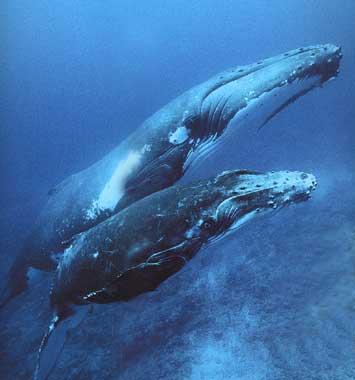 Biodiversité animale Baleine-a-Bosse_Petit-1-2
