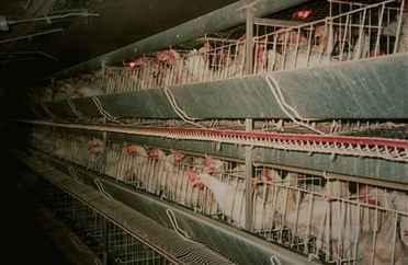 Poules en élevage intensif: interdit en Angleterre! Poules2