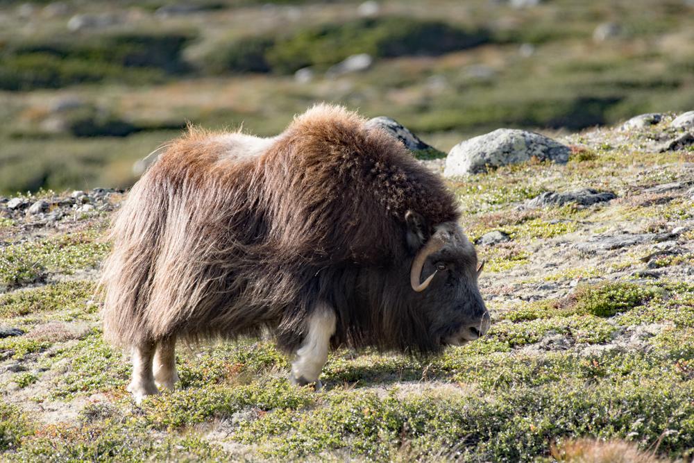 Les bœufs musqués du grand nord 3762