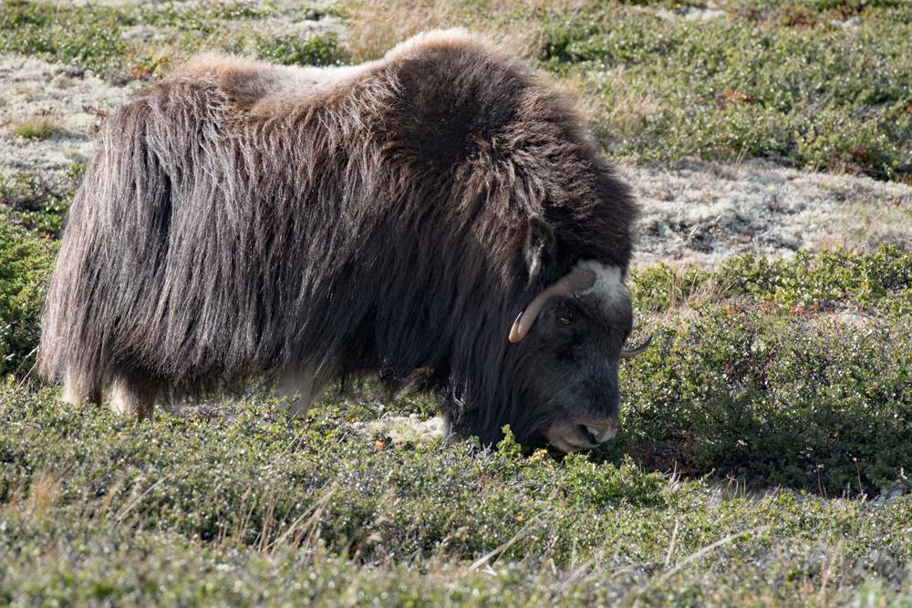 Les bœufs musqués du grand nord 3772