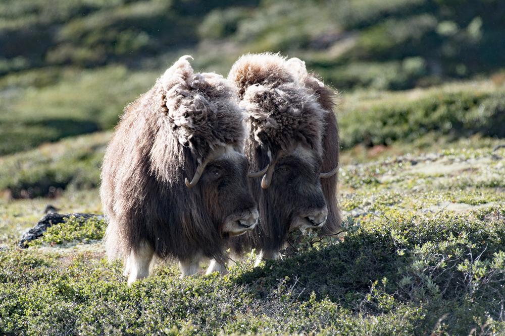 Les bœufs musqués du grand nord 3817