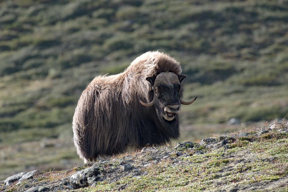 Les bœufs musqués du grand nord 3866