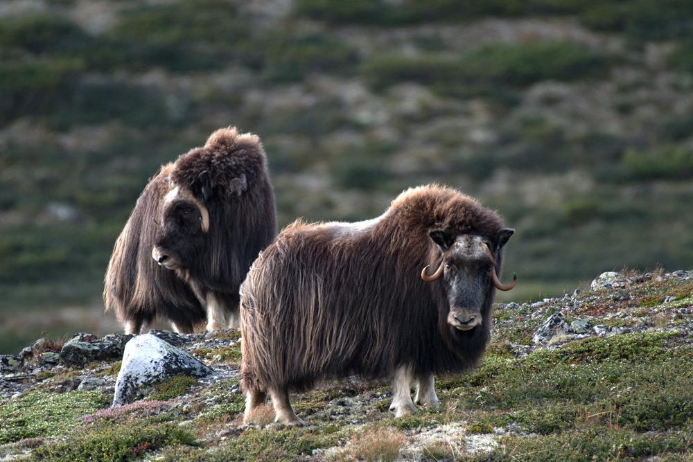Les bœufs musqués du grand nord 3878