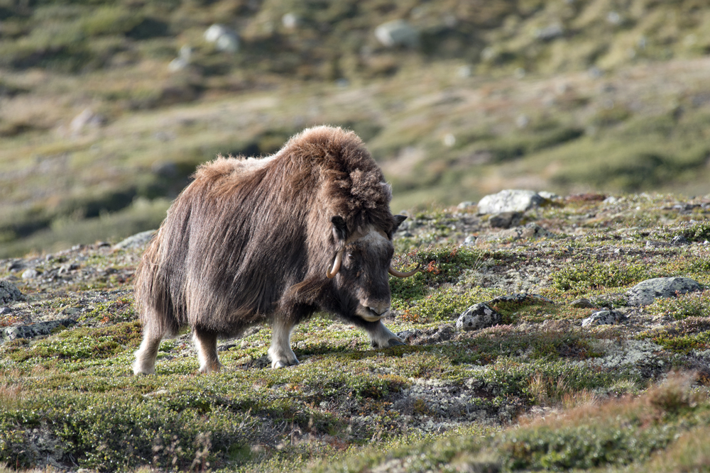 Les bœufs musqués du grand nord 3911