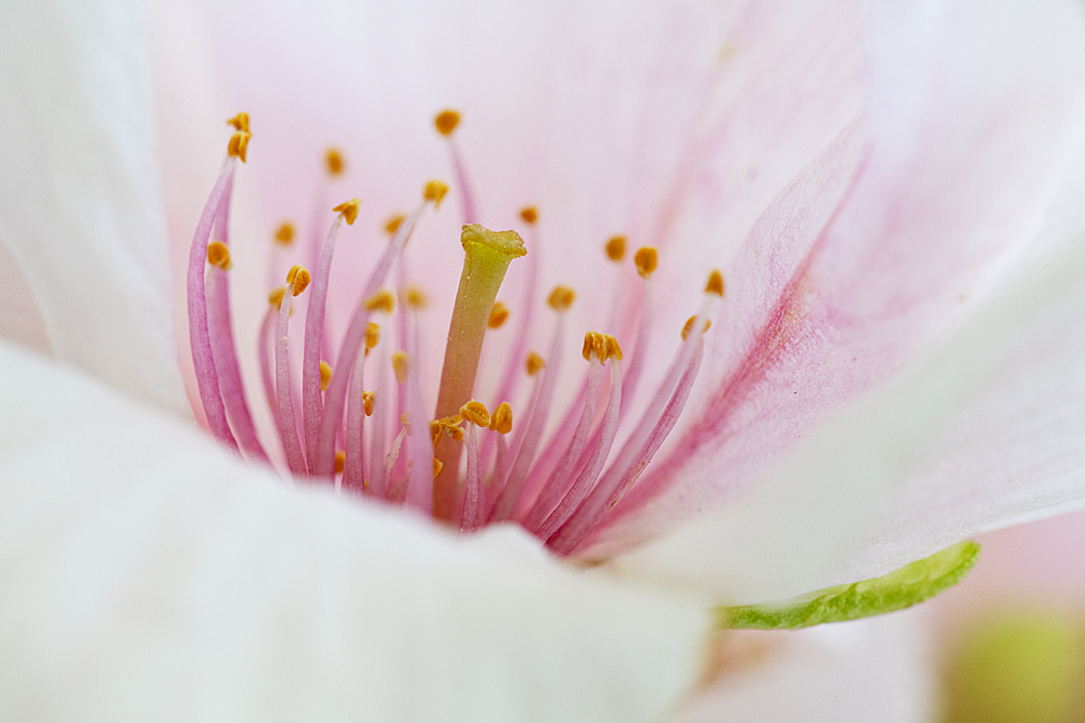 Fleur de cerisier 2014
