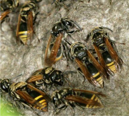 Bộ sưu tập côn trùng 2 - Page 14 Brachygastra3