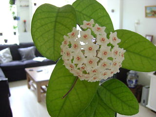 Hoya fungii UjhHfc6R