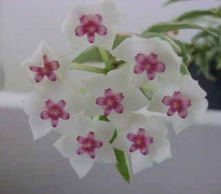 Hoya lanceolata ssp. bella 'Albomarginata'  BfCLsIw7