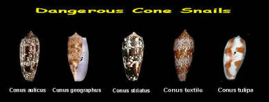 for today,,,    - Page 6 2015-1-23%20Cone%20Shells