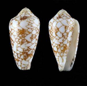 Conus (Darioconus) bratcherae - Petuch & Berschauer, 2019 Image002