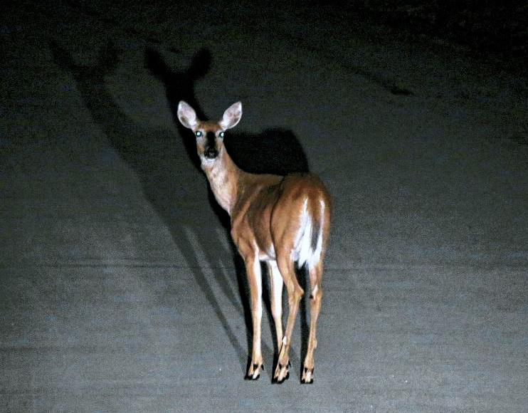 Deer in the Headlights: Attention and the Quantum Zeno Effect Deerheadlights