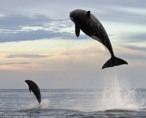 Dolphins Spotted Riding Whales! Dolphinandwhalejump-300x242