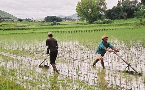 Dual Application - Sjipz0r, Fluffz TWF-rice-farming-africa
