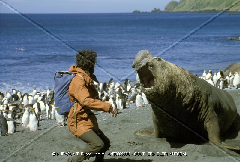 Orca x Elefante Marinho Elephant_seal_versus_cameraman
