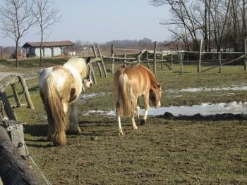 Miješana pasmina konja 2b4f4b460805773