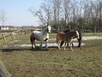 Miješana pasmina konja 3d33ca460806168