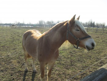 Miješana pasmina konja C2d701460803500