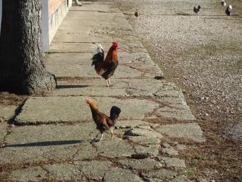 Domaće kokoši i domaća jaja 2101a3463334677