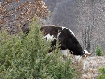 Smeđe govedo Cac7c1472224567