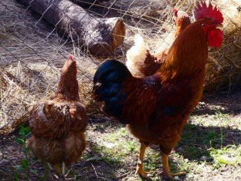 Domaće kokoši i domaća jaja F0f80d472654399