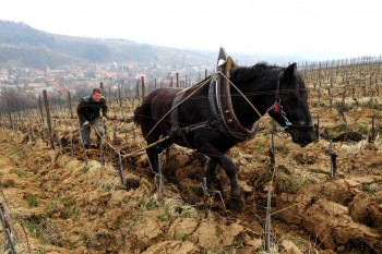 Gnojidba vinograda 324902474294222
