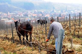 Gnojidba vinograda 7d44a4474294245