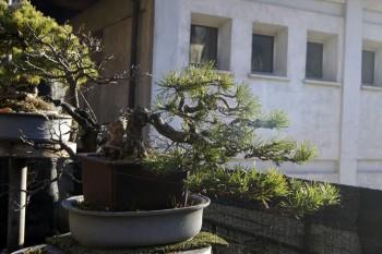 Rimodellato un Pino mugo nello stile Kengai. 24a2f6520316247