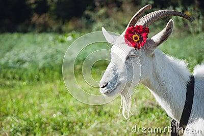 Mnt. Goat Funny-goat-s-portrait-flower-green-sunny-grass-41616915