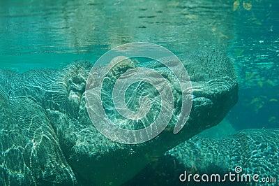 qui suis-je jovany 16/03/16 trouvé par Martine Hippopotamus-sous-l-eau-11070715