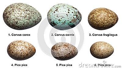 Asociación de imágenes  - Página 5 Huevos-de-p%C3%A1jaros-de-la-familia-del-cuervo-corvids-15610083