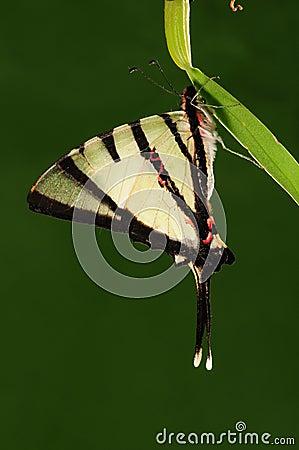 Tìm hiểu Bướm - Page 4 Pathysa-agetes-butterfly-twig-28631265