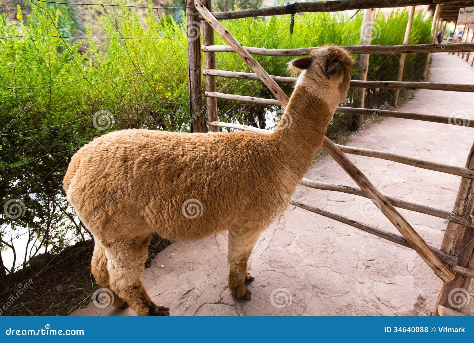 l'animal du petit loulou - 31 octobre trouvé par ginto et martin Lama-p%C3%A9ruvien-ferme-de-lama-alpaga-vigogne-au-p%C3%A9rou-am%C3%A9rique-du-sud-animal-andin-34640088