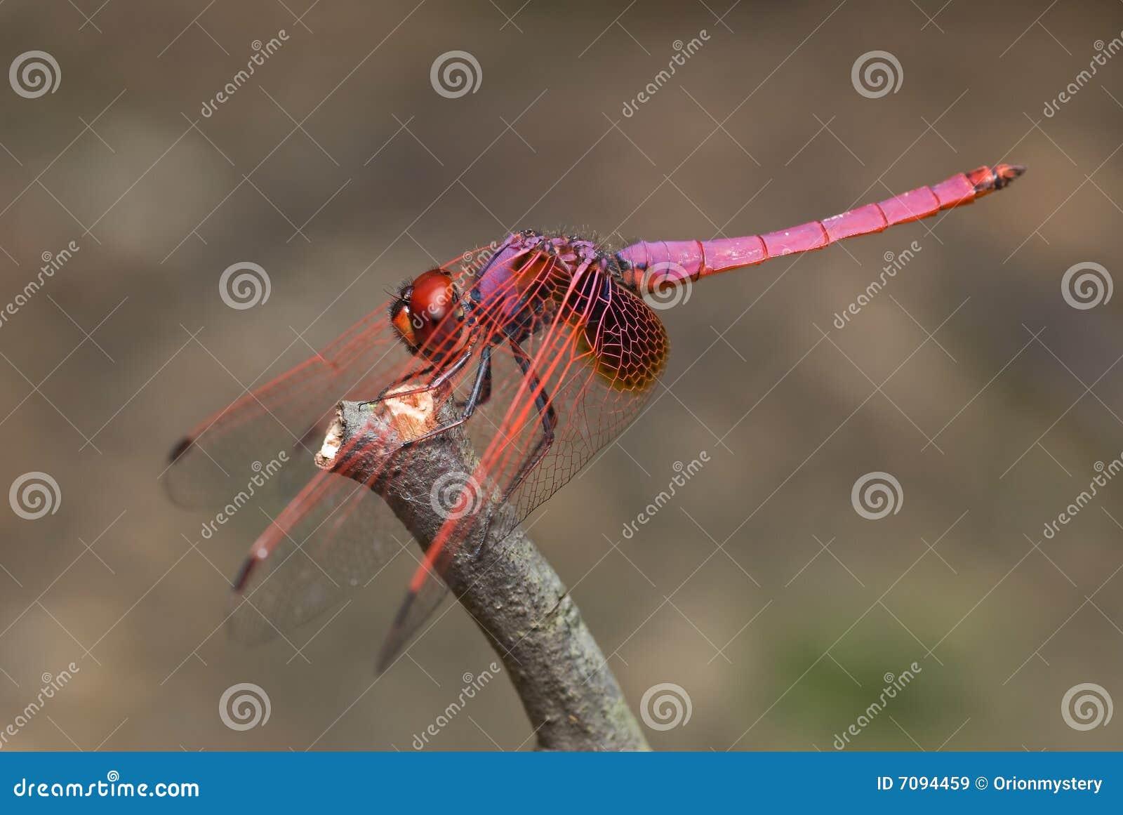 l'animal de Martin du 12 janvier trouvé par Martine Libellule-violette-de-darter-7094459