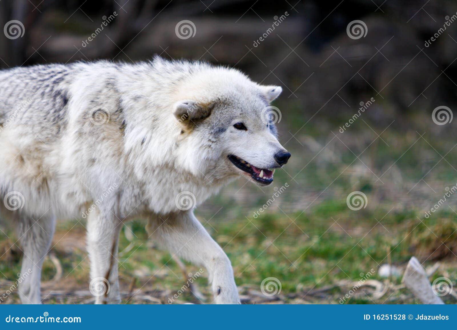 Lo bello de lo salvaje - Página 2 Lobo-salvaje-blanco-que-se-prepara-para-atacar-16251528