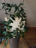 Hoya odorata 26032607yp