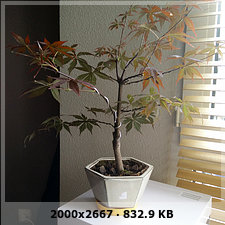 Mi primer bonsai arce palmatum 1e7a2a66e8a147a4ba914dbce8aa5672o