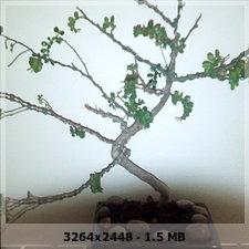 Bonsai operculicaria secandose 265f4e5f1ce062de51df0b8eff81d10fo