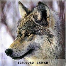 Vega >> Era WOLVERINES - Página 3 3efc70a2ced5296f4f959b1c36353808o