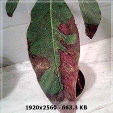 Mi palta necesita nutrientes 63037c80717aadeecf8975322a3817cao