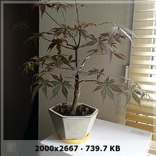 Mi primer bonsai arce palmatum 64ee33f6abea36c87f078d658ae19ed5o