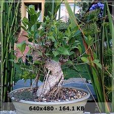 Ayuda con Bonsai de Ficus Bef8d9a6996150a56a4ec6177ff283c2o
