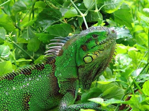 Et les iguanes? Iguane-016