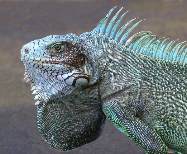 Et les iguanes? Iguane-017