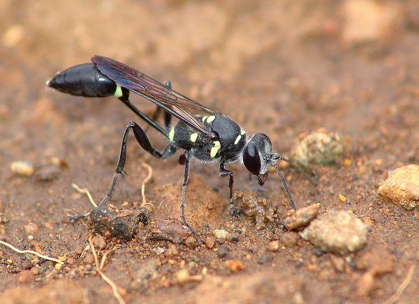 Centaines d'insectes noirs dans mon jardin. Guepe001
