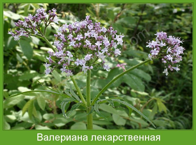 """Растения на """"В"""" Valeriana_officinalis3"""
