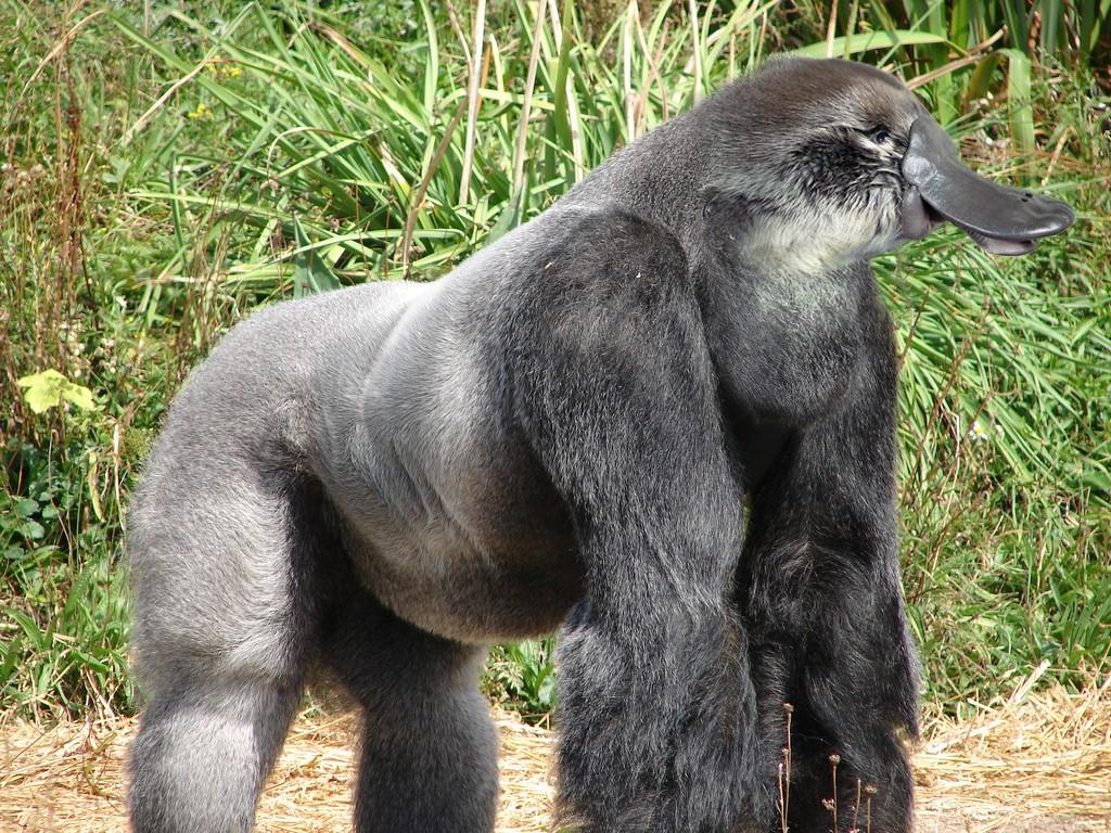 The beginnig of the beautiful friendsip Gorillapus