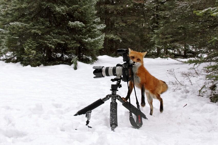 Лиса попыталась украсть фотокамеру Cunning-fox-pixanews-1