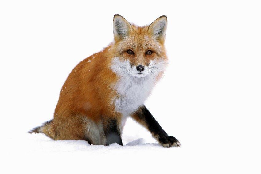 Лиса попыталась украсть фотокамеру Cunning-fox-pixanews-2